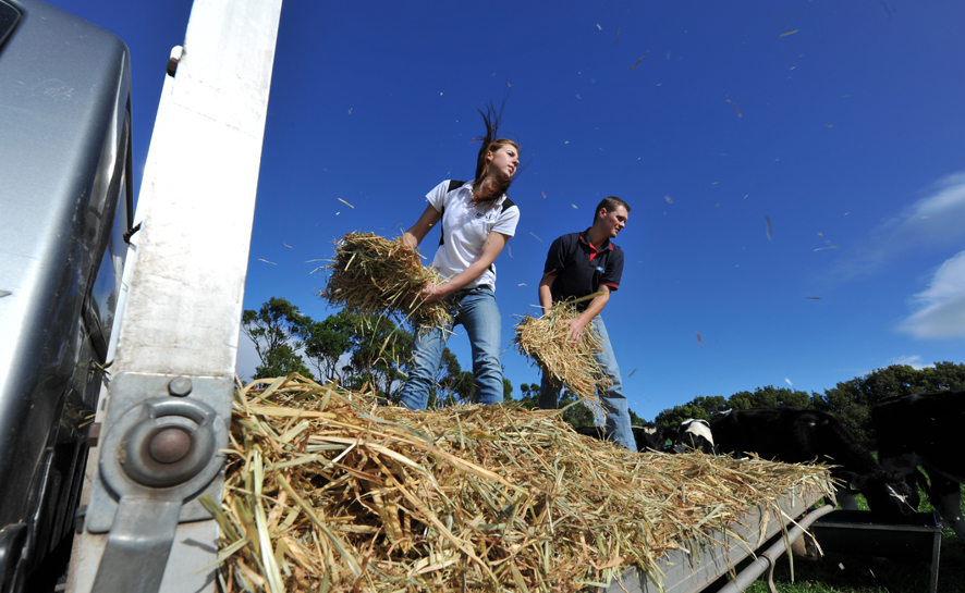 Young dairy farmers Emma Visser and Tim Walden throw hay out to the cows.